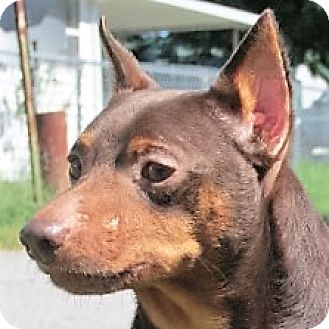 Miniature Pinscher Mix Dog for adoption in Germantown, Maryland - Pippin