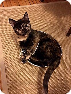 Domestic Mediumhair Kitten for adoption in Washington, D.C. - Caramel