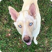 Adopt A Pet :: Khalessi - Clearwater, FL