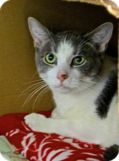 Domestic Shorthair Cat for adoption in Gloucester, Massachusetts - Justin