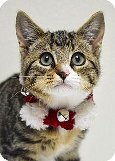 Domestic Shorthair Kitten for adoption in Dublin, California - Gravy