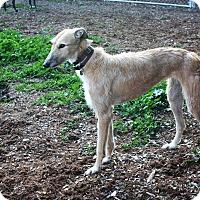 Adopt A Pet :: Ginger - Santa Rosa, CA