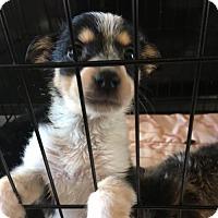 Adopt A Pet :: FIFI TRIXIBELLE - Glendale, AZ