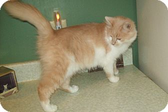 Domestic Longhair Cat for adoption in Dover, Ohio - Tiffany