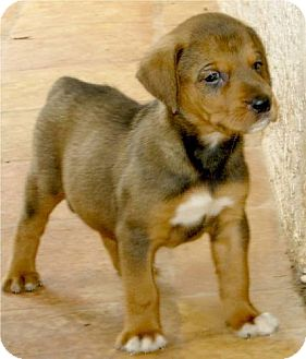 Bloodhound/Border Collie Mix Puppy for adoption in Phoenix, Arizona - Bristol