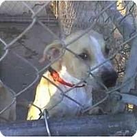 Adopt A Pet :: Dodger - Fowler, CA