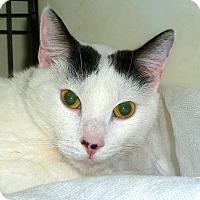 Domestic Shorthair Cat for adoption in Carmel, New York - Ajay