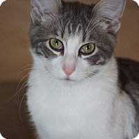 Adopt A Pet :: Bingley - St. Louis, MO