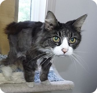 Domestic Mediumhair Cat for adoption in Orleans, Vermont - Mildred
