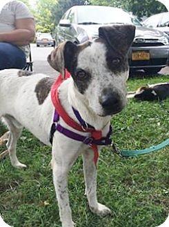 Australian Cattle Dog Mix Dog for adoption in Wilton, New York - Gunther
