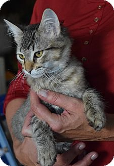 Domestic Mediumhair Kitten for adoption in Surrey, British Columbia - Skeeter