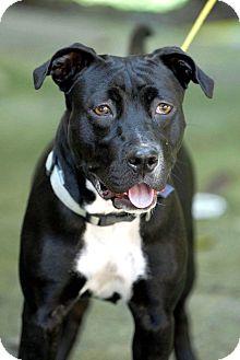 Pit Bull Terrier Mix Dog for adoption in Pottsville, Pennsylvania - Collette