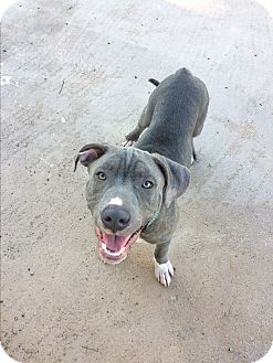 Pit Bull Terrier Mix Puppy for adoption in Loxahatchee, Florida - Wyatt