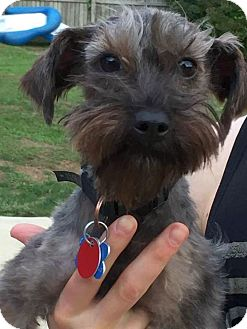 Yorkie, Yorkshire Terrier/Poodle (Miniature) Mix Dog for adoption in Columbus, Ohio - Shadow