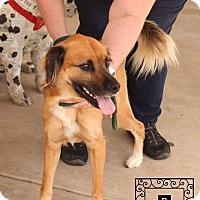 Anatolian Shepherd Mix Dog for adoption in Staunton, Virginia - Nacho