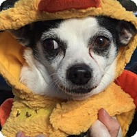 Chihuahua Mix Dog for adoption in Pompton Lakes, New Jersey - Sprinkles