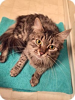 Domestic Mediumhair Cat for adoption in Colmar, Pennsylvania - Ella