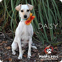 Adopt A Pet :: Daisy - Council Bluffs, IA