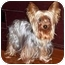 Photo 2 - Yorkie, Yorkshire Terrier Dog for adoption in The Villages, Florida - Cricket