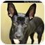 Photo 2 - Pharaoh Hound/German Shepherd Dog Mix Dog for adoption in Monroe, Georgia - Ali