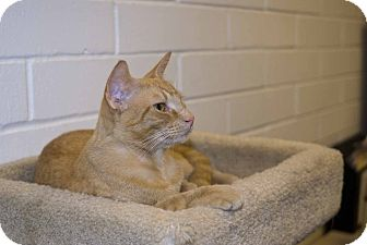Domestic Shorthair Cat for adoption in New Port Richey, Florida - Rusty