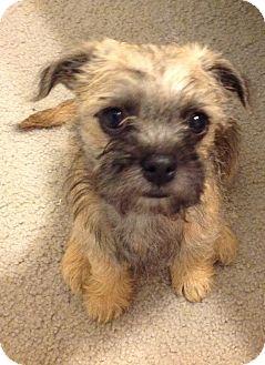 Boston Terrier Yorkie Mix