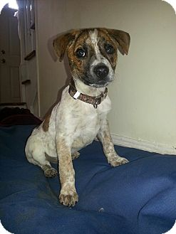 Cattle Dog/Italian Greyhound Mix Puppy for adoption in East Rockaway, New York - Andrew
