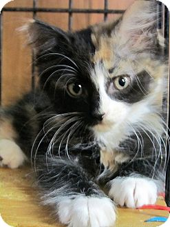 Calico Kitten for adoption in Seminole, Florida - Calice