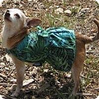 Adopt A Pet :: ZELDA - AUSTIN, TX