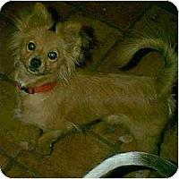 Adopt A Pet :: Sherrie - dewey, AZ