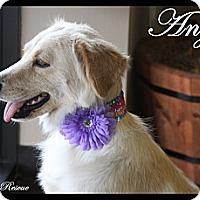 Adopt A Pet :: Angel - Rockwall, TX