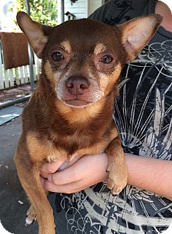 Chihuahua Mix Dog for adoption in Avon Park, Florida - Reecie