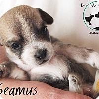 Adopt A Pet :: SEAMUS - Hurricane, UT