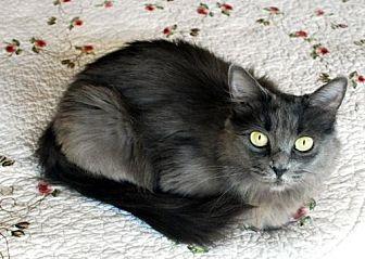 Domestic Longhair Cat for adoption in Auburn, California - Betsy