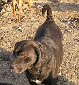 Labrador Retriever/American Pit Bull Terrier Mix Dog for adoption in Columbia, Kentucky - Laurel