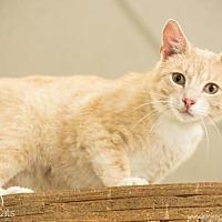 Domestic Shorthair Cat for adoption in Columbus, Ohio - LuLu