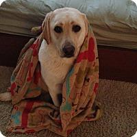 Adopt A Pet :: Sissy bonded with Bogey - Las Vegas, NV