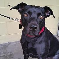 Labrador Retriever/Terrier (Unknown Type, Medium) Mix Dog for adoption in BROOKSVILLE, Florida - BUDDY