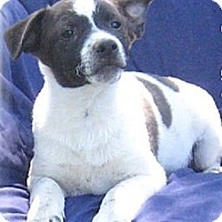 Adopt A Pet :: Alfie- Super Sweet Pup - Marlborough, MA