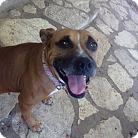 Boxer Mix Dog for adoption in Fair Oaks Ranch, Texas - Bella