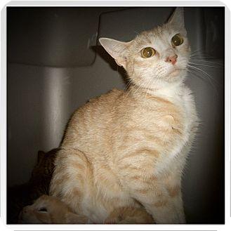 Domestic Shorthair Cat for adoption in Medford, Wisconsin - ESTELLA