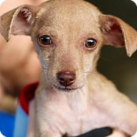 Adopt A Pet :: Chico - Los Angeles, CA