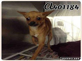 Chihuahua Dog for adoption in San Antonio, Texas - A401184