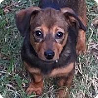 Adopt A Pet :: Heidi - McKinney, TX