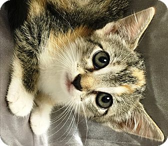 Calico Kitten for adoption in Watauga, Texas - May