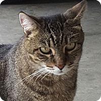 Adopt A Pet :: Clawdia **Declawed** - Nashville, TN