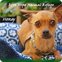 Adopt A Pet :: Honey - Waterbury, CT
