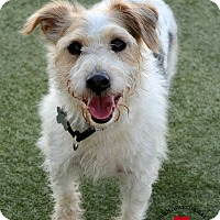 Adopt A Pet :: Jack - Youngwood, PA