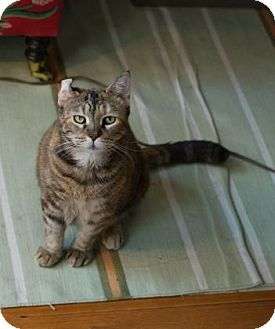 Domestic Shorthair Cat for adoption in New York, New York - Nellie