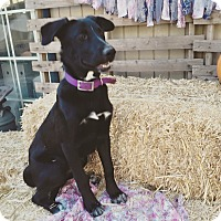 Adopt A Pet :: Sir William - Rancho Cucamonga, CA